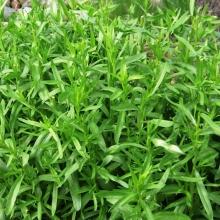 Прунелла Земфира (крупноцветковая, смесь цветов)