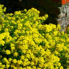 Тагетес Полосатое чудо (отклоненный, золотисто-коричневый)